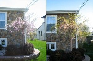 Weeping Cherry Tree in April
